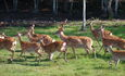 Домик охотника «Вередово», Пятнистые олени в вольере