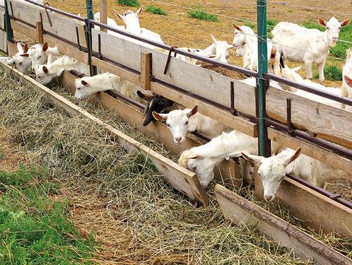 Один день на козьей ферме