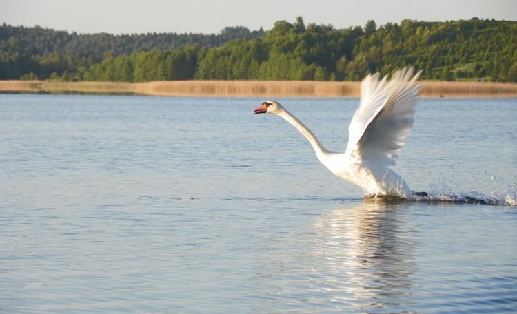 Усадьба «Устье LIFE», Лебедь....