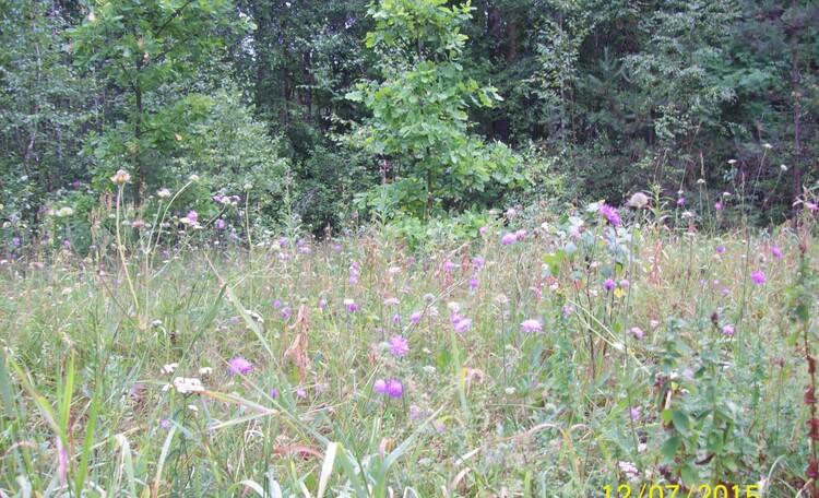 Лесная поляна в июле.