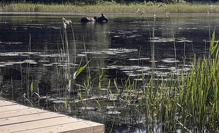 Ранним утром можно наблюдать, как приходит купаться самка лося с лосенком