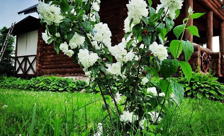Цветет чубушник