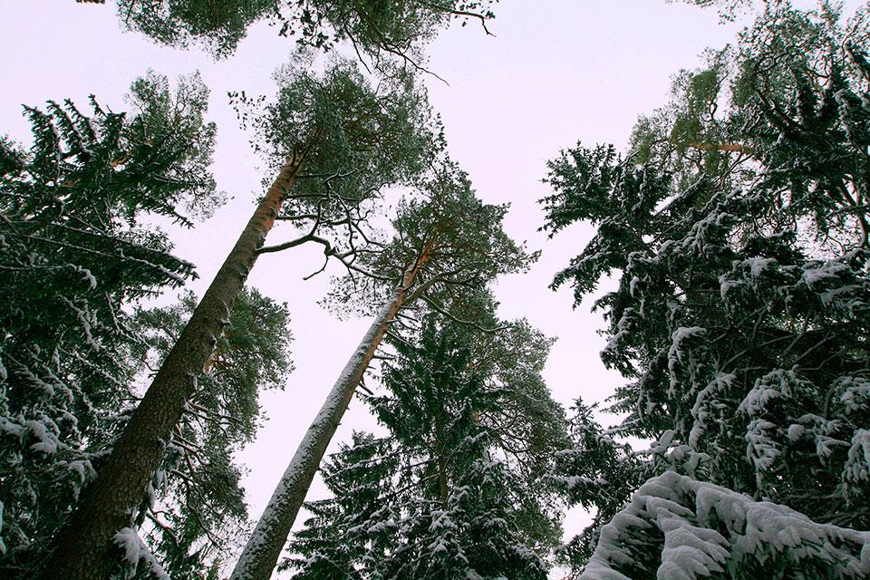 Национальный парк «Беловежская пуща», Мачтовый лес в Беловежской пуще